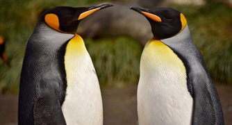 Elderly Penguin moms are raising a chick together